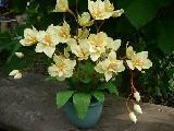 Kwiaty z bibuły - Storczyk (1)