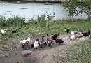 Kaczki i kury