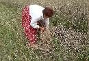 Podbieranie żyta