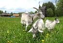 Kozy w Kolbuszowej