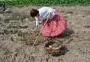 Kopanie ziemniaków