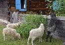 Owce skuddy