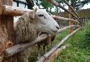 Owce w Klukach