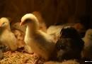 Wylęg kurczaków